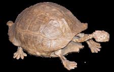 Fossil Tortoise